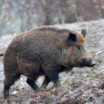 Ridurre gli incidenti sulle strade con la caccia ai cinghiali, la proposta in Regione