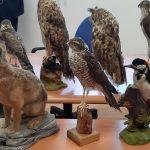 Bracconieri in azione tra Attimis e Faedis, oltre 300 uccelli sequestrati
