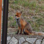 Una volpe a passeggio per Forni di Sopra. I turisti fanno a gara per fotografarla