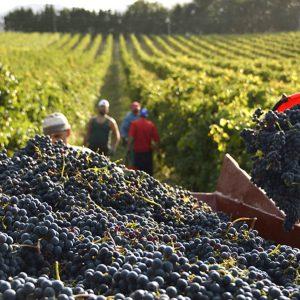 Caldo improvviso e grandine non fanno bene al vino, sarà una vendemmia in negativo