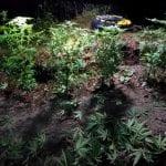 Coltiva una piantagione di marijuana nei boschi della Carnia, ragazzo di 20 anni nei guai