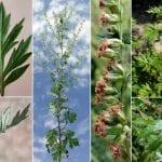 Altanìsie o ben Arsinz, ovvero l'Artemisia, una pianta conosciuta già in antica Grecia