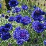 Barburice, il Fiordaliso, una pianta meravigliosa che cresce in Friuli e che ha molte proprietà curative