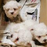 Nasconde 4 cuccioli di razza in uno scatolone nell'auto, denunciato a Gradisca