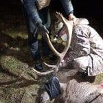 La nuova vita dei cervi salvati dalla neve in montagna è a Forgaria