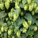 Il Luppolo, una pianta diffusa in Friuli e famosa non solo per fare la birra