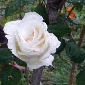 Mercoledì, una passeggiata virtuale per conoscere le rose selvatiche del Friuli