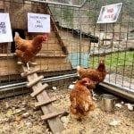 Strage di galline per l'errore del carro armato in Friuli, sui social impazza l'ironia