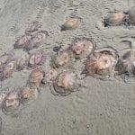 Strage di meduse sulla spiaggia di Grado, migliaia di meduse spinte dalla bora fino a riva