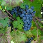 Tecniche innovative per il vino, prestigioso premio per un ricercatore dell'UniUd