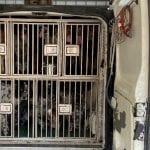 Trentasei cani di pregio stipati in un furgone in condizioni disumane: li salva la Polizia a Gorizia