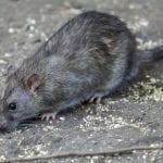 Contagiato dalla febbre del topo a Cervignano, allarme in regione