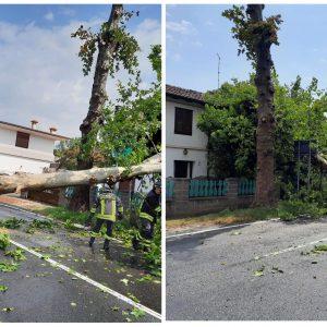 Un grosso platano cade sulla regionale a Terzo di Aquileia e finisce su una casa