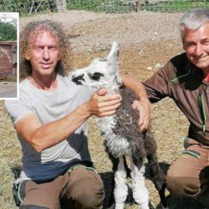 Sorpresa al Centro della fauna di Terranova, nasce una piccola lama