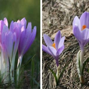 Un fiore velenoso simile al crocus d'autunno in Friuli, decine di segnalazioni