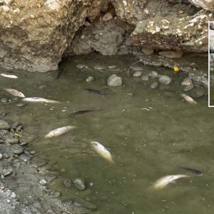 Salvati un centinaio di pesci dal Natisone, stavano morendo per la siccità