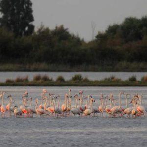 Torna lo spettacolo dei fenicotteri rosa nella laguna di Grado
