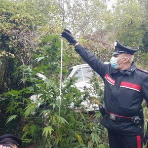 Trovato con la serra di marijuana a casa, arrestato un 45enne a Colloredo