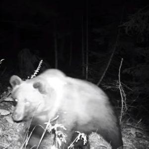 Un giovane orso ripreso nei boschi della Carnia, le immagini che incantano